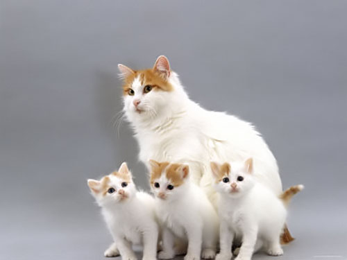 photo chat Turkish Van