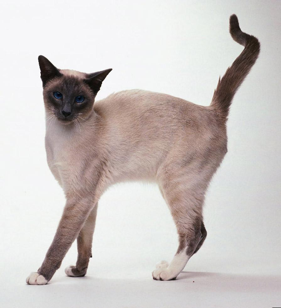 snowshoe chat The snowshoe cat breed: breeders brave enough to take on the snowshoe challenge find that the cat pays back the effort in love and affection anyone looking for an.