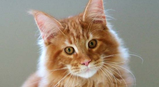 Maine-Coon-roux