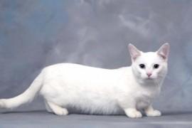 chat-munchkin-blanc