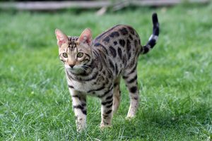 chat-bengal
