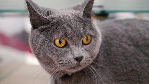 chat-chartreux