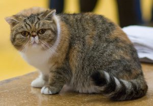 chat-exotic-shorthair