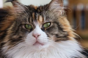 chat-maine-coon