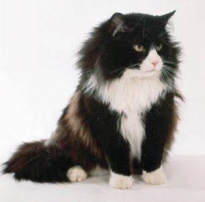 chat-norvegien