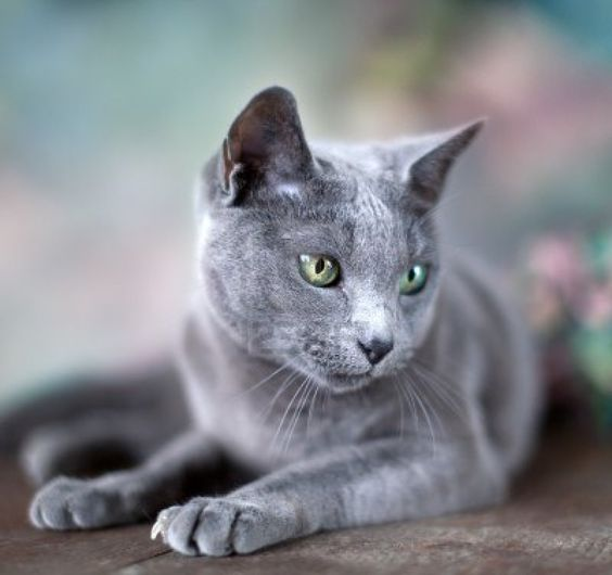chat-bleu-russe-animal-compagniechat-bleu-russe-animal-compagniechat-bleu-russe-animal-compagnie