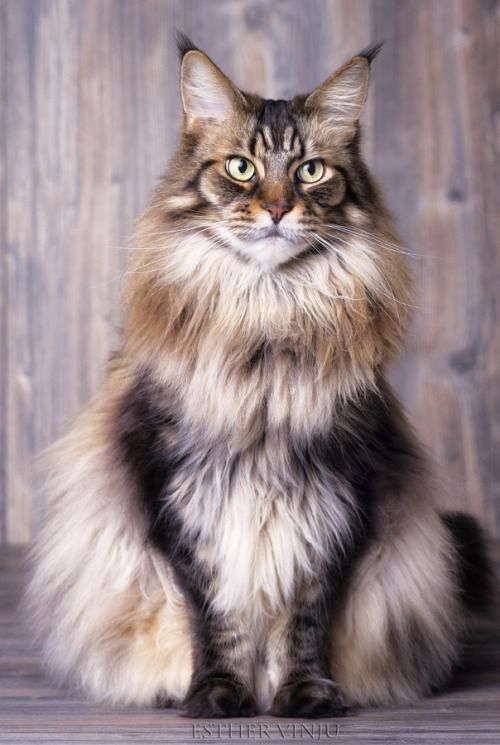chat-maine-coon-choisir-race-appartement