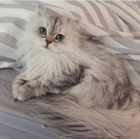 chat-persan-choisir-race-appartement