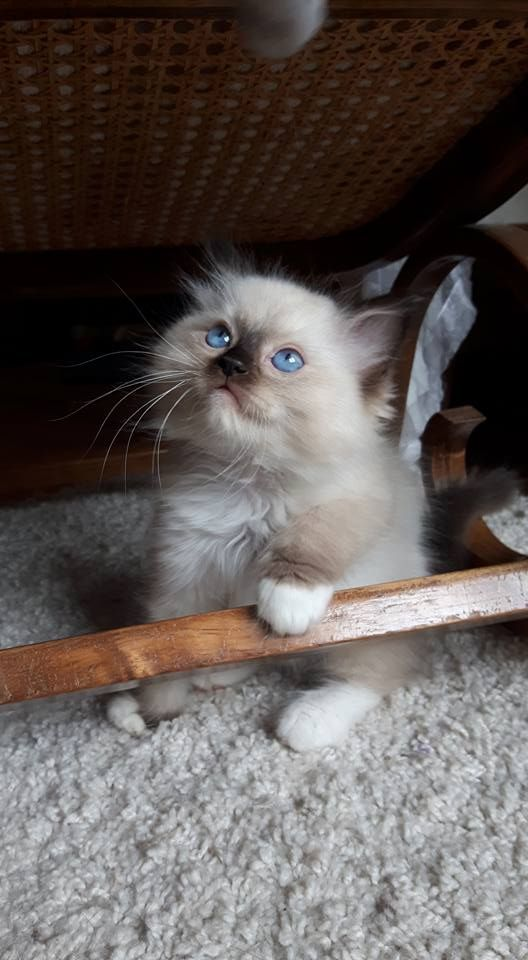 chat-ragdoll-choisir-race-appartement